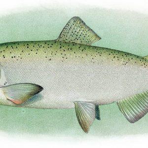 king salmon, chinook, fishing kenai