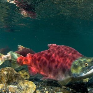 sockeye salmon, kenai fishing