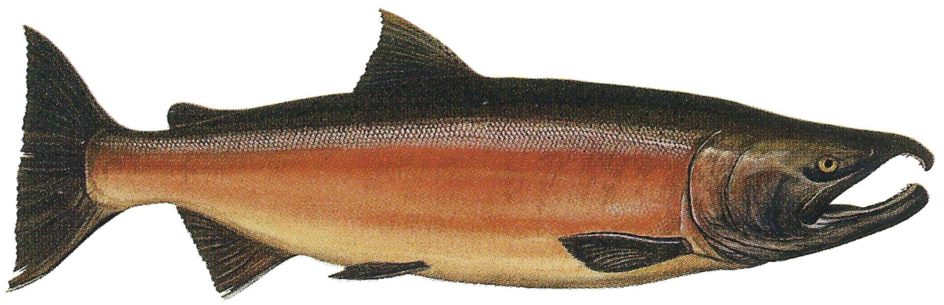 Silver Salmon, Coho, Fishing Kenai